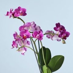 Orchids (Delivery) img